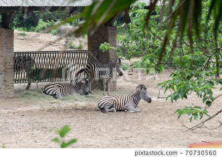 動物 台北市動物園 台北木柵動物園 斑馬 70730560
