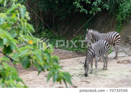 動物 台北市動物園 台北木柵動物園 斑馬 70730566