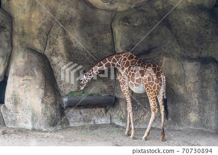 動物 台北市動物園 台北木柵動物園 長頸鹿 70730894