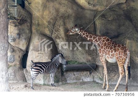動物 台北市動物園 台北木柵動物園 長頸鹿 70730956