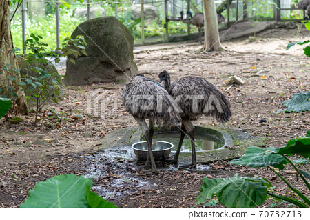 動物 台北市動物園 台北木柵動物園 鴯鶓 澳洲鴕鳥 澳洲 唯一物種 70732713