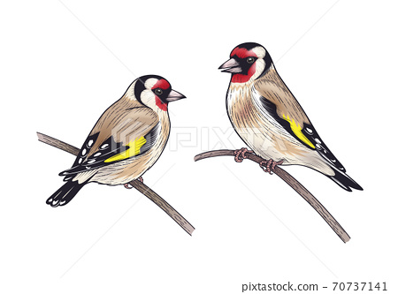 Hand Drawn Two Goldfinches Sitting on Branches 70737141