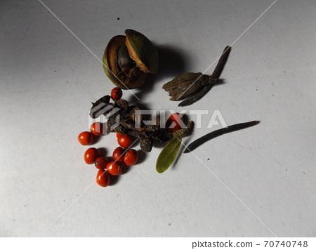 在昭和之森收集的Sidekobushi的紅色種子 70740748
