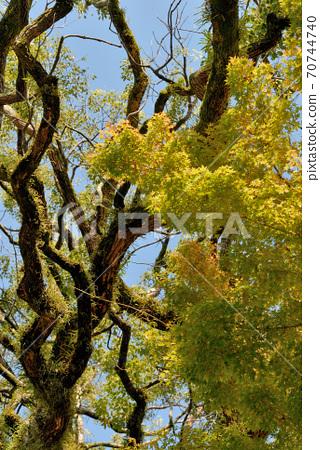 신사의 경내에 성장 물든 큰 나무에 가을 날이 당 황홀한 모습이있는 풍경 70744740