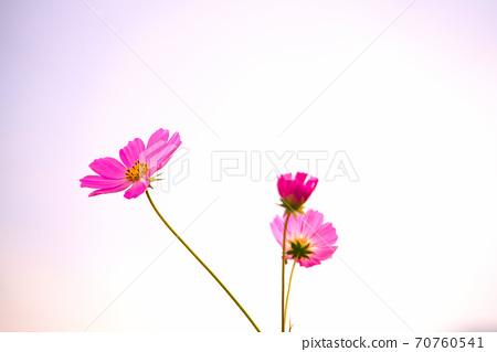 White background and pink cosmos, Higashi-ku, Okayama City, Okayama Prefecture 70760541