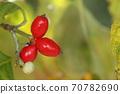 자연 식물 층층 나무, 시월 중순. 가지 끝에 붉은 열매 옆에 내년을위한 겨울 꽃 봉오리가 보인다 70782690