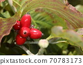자연 식물 층층 나무, 가을에 枝先 몇 개씩 붉은 열매를 맺습니다. 보기 맛있을 것 같습니다하지만 먹을 수 없습니다 70783173