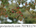 Natural plant dogwood, autumn. The contrast between the few leaves and the bright red fruits gives a sense of the season. 70783174