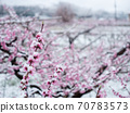 Peach flowers in bloom in the Japanese spring after a sudden and rare snowstorm 70783573
