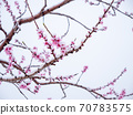 Peach flowers in bloom in the Japanese spring after a sudden and rare snowstorm 70783575