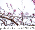 Peach flowers in bloom in the Japanese spring after a sudden and rare snowstorm 70783576