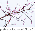 Peach flowers in bloom in the Japanese spring after a sudden and rare snowstorm 70783577