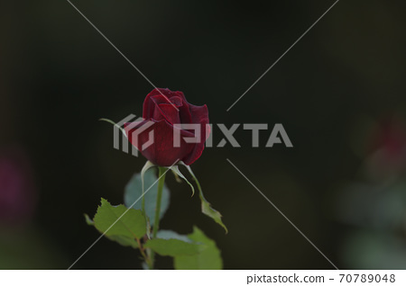 빠빠메이안라는 이름의 프랑스에서 만들어진 진홍의 장미 꽃 70789048