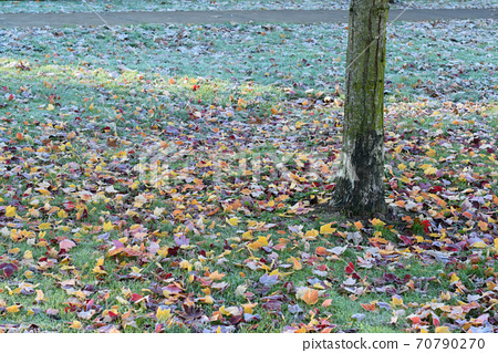 A park and a tree with frost on the fallen leaves on a cold autumn day 70790270