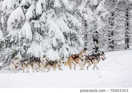sledge dogging, Sedivacek's long, Czech Republic 70803361
