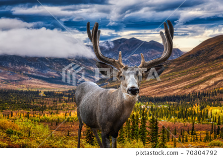 A male Deer in Canadian Nature 70804792