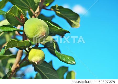 녹색 오오이타비의 열매 (가을) 70807079
