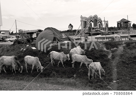 Herd of cows grazing on the roadside in Siem Reap, Cambodia 70808864