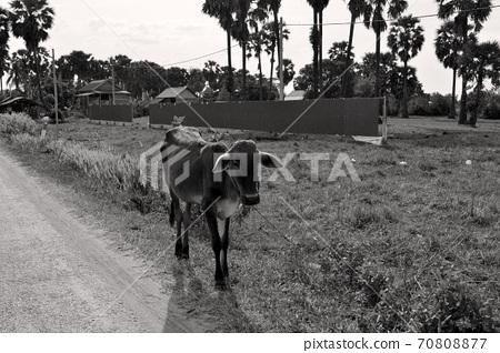 캄보디아 씨엠립의 길가에서 키우고있는 소 70808877