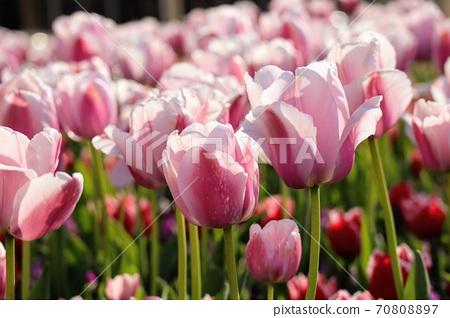 일본의 선명한 분홍색 튤립 밭 70808897