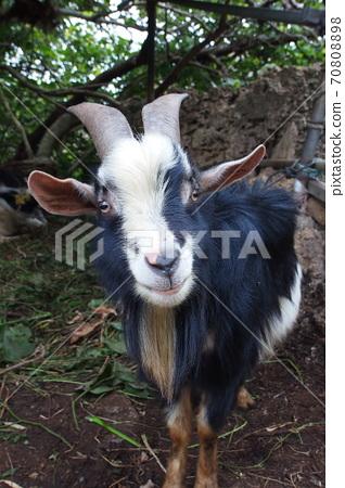鹿兒島縣與島島飼養的山羊 70808898