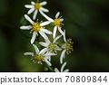 Natural plant Shirayamagiku, it looks poor because there are few tongue-shaped flowers. This is in full bloom 70809844
