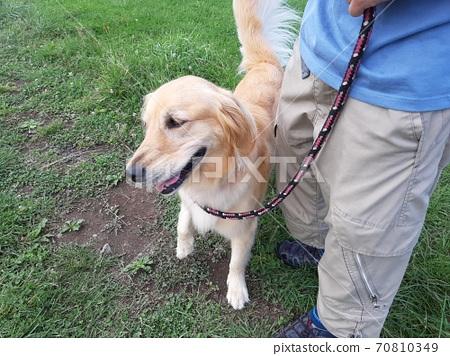 Golden retriever during walk 70810349