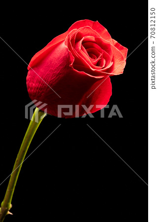 Red rose flower isolated on black background 70812150