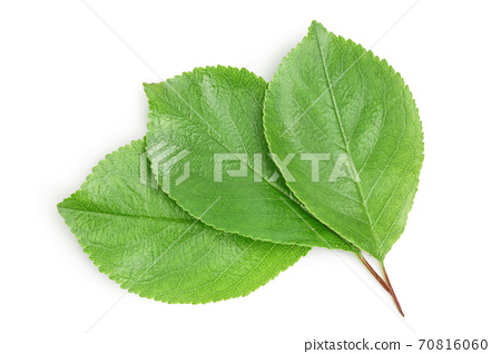 cherry leaf isolated on a white background with clipping path and full depth of field. Top view. Flat lay 70816060