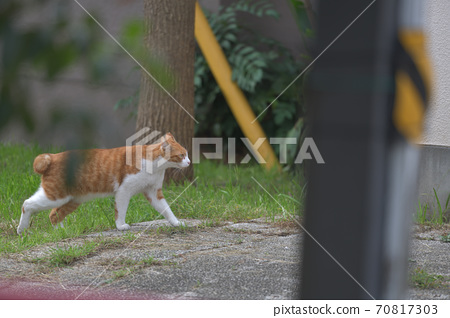 Cat with brown back and white paws walking around the city 70817303