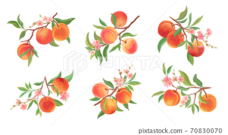 Watercolor Peach vector branches set. Hand drawn fruit, flowers, leaves and sliced pieces 70830070