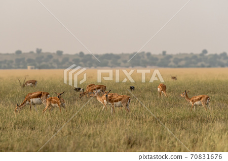 blackbuck or antilope cervicapra or indian antelope group in open field and grassland of tal chhapar sanctuary rajasthan india 70831676