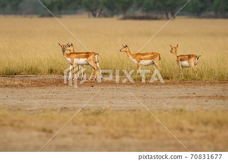 blackbuck or antilope cervicapra or indian antelope group in open field and grassland of tal chhapar sanctuary rajasthan india 70831677