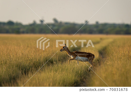 blackbuck or antilope cervicapra or indian antelope crossing track in grassland of tal chhapar sanctuary rajasthan india 70831678