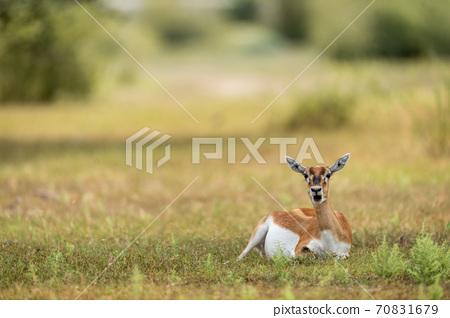 blackbuck or antilope cervicapra or indian antelope closeup in green background at tal chhapar sanctuary rajasthan india 70831679