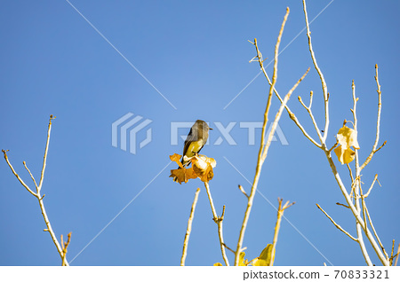 Sunny view of a Black phoebe resting 70833321