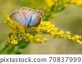 """생물 곤충 우라나미시지미, 여성. 수컷의 차이는 """"翅表의 바탕색이 갈색으로 後翅 외연의 흑점 열이 연속적 '등 70837999"""