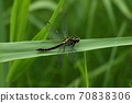 Creatures, insects, Yamasanae, and females. Relatively large and solid type, often seen in early summer 70838306