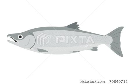 銀色三文魚的例證。雄性鮭魚,下頜有特徵。 70840712