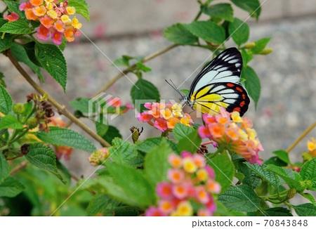 白豔粉蝶/紅紋粉蝶 (Delias hyparete)白色豔麗粉的台灣蝴蝶. 70843848