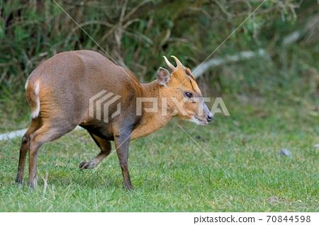山羌Reeves's muntjac(Muntiacus reevesi),在臺灣高山的野生動物. 70844598