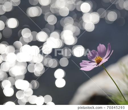 분홍색 코스모스 꽃이 보이는 아름다운 풍경 70845293