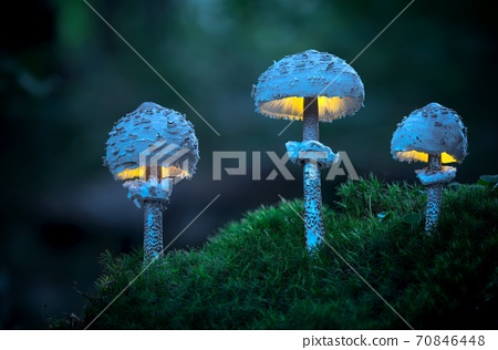 Macro photo of three glowing mushrooms in the early evening forest (Macrolepiota procera) 70846448