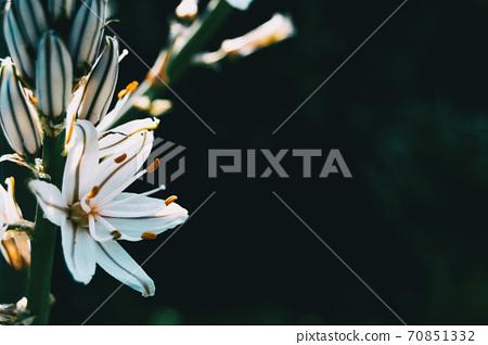 Close-up of a white asphodelus flower 70851332