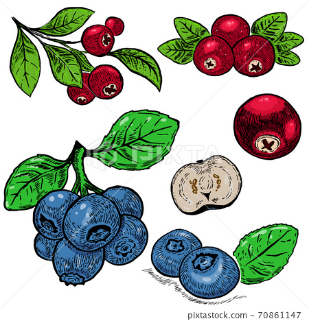 Hand drawn blueberry purple berries and red cranberry. Design element for poster, card, banner, menu, store decoration. 70861147
