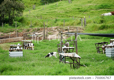 Cows grazing on a green field.  70866767