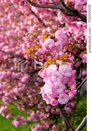 pink sakura blossom above the green grass. nature beauty in springtime. 70880006