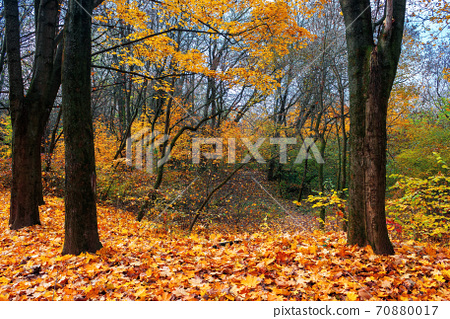 sunny autumn scenery in the deciduous forest. trees in colorful foliage. ground covered with fallen leaves. seasonal change of nature. warm and dry weather 70880017