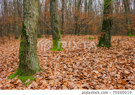 forest and fallen foliage in november. dry leaves on the ground. leafless branches and trunks with moss. calm nature scenery. 70880019