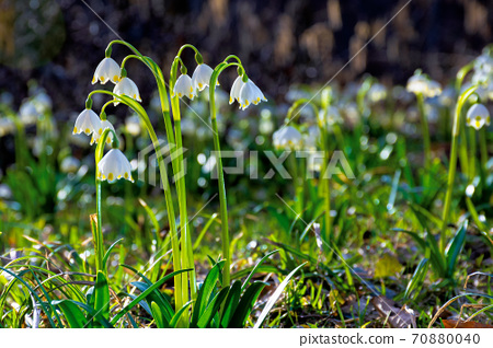 bunch of snowflake flowers on the forest glade. spring nature background on a sunny day 70880040